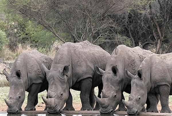 Group Of White Rhino